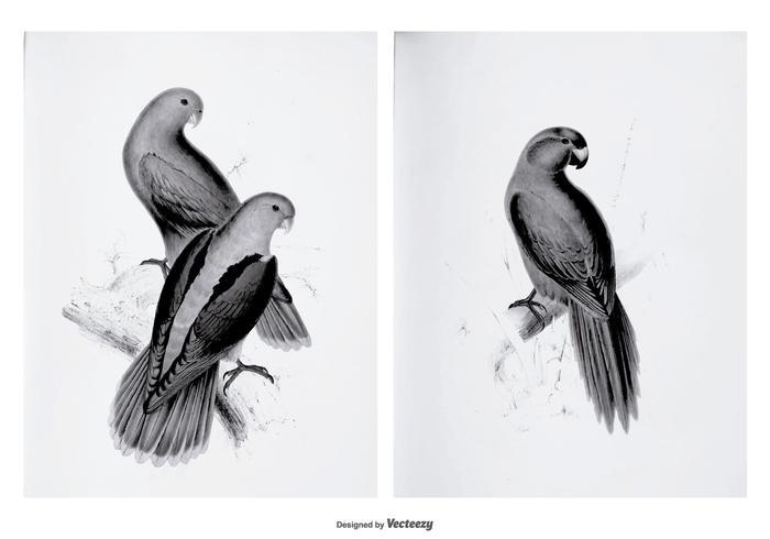 Vintage Parakeet Illustrations