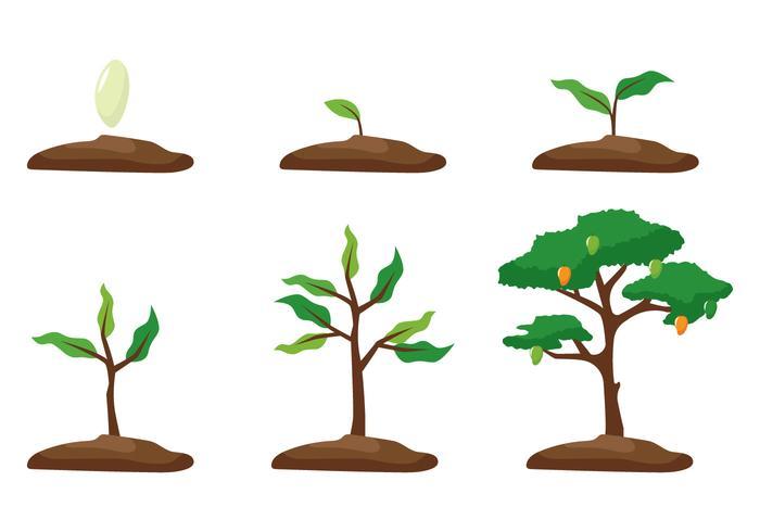 Crecimiento del árbol del mango