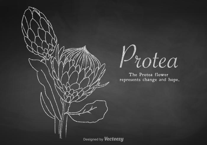 Vecteur de protea dessiné en craie gratuit