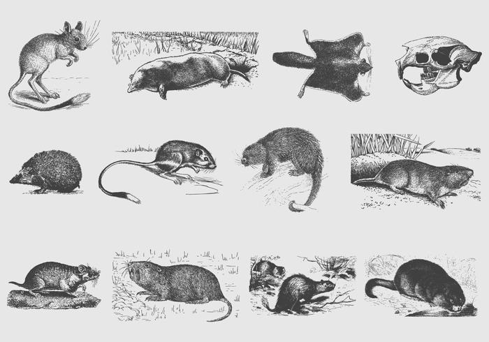 Gray Rodent Illustrations vector
