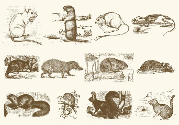 Sepia Rodent Illustrations