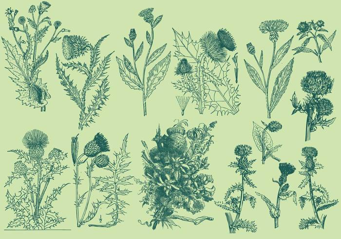 Illustrations de thistle vintage