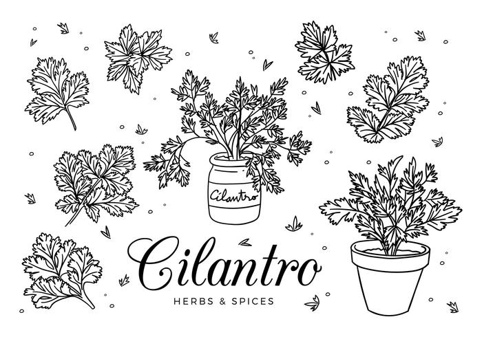 Cilantro Sketch Vector