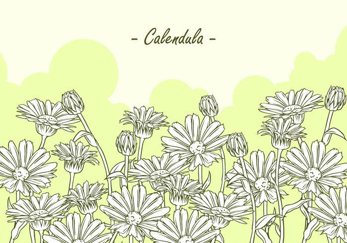 Calendula Hand Drawing Free Vector