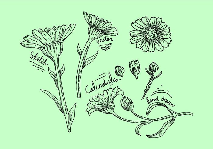 Free Calendula Vector Illustration