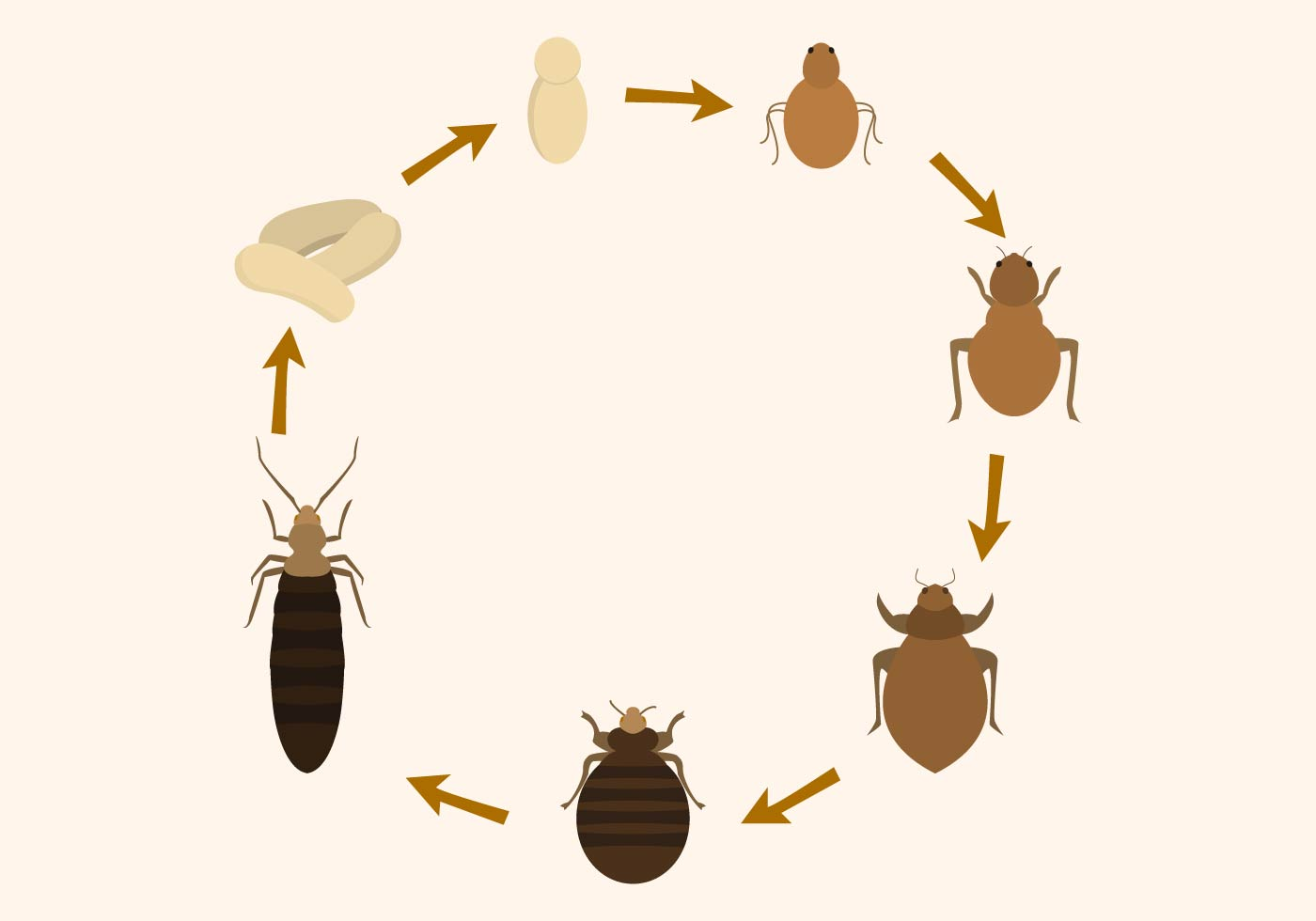 Bed Bug Life Cycle Download Free Vector Art Stock Graphics Images