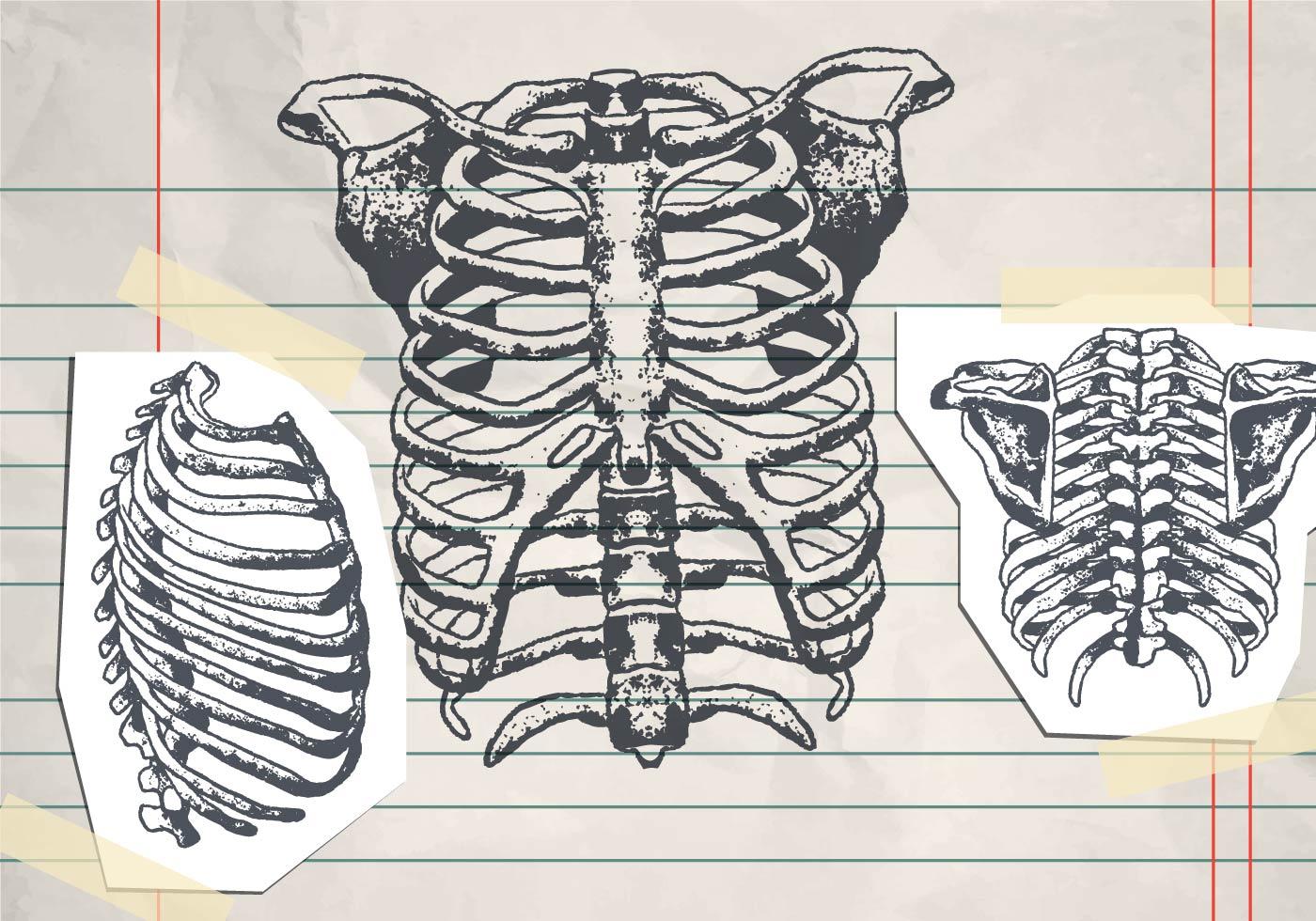 Human anatomy vertebral column