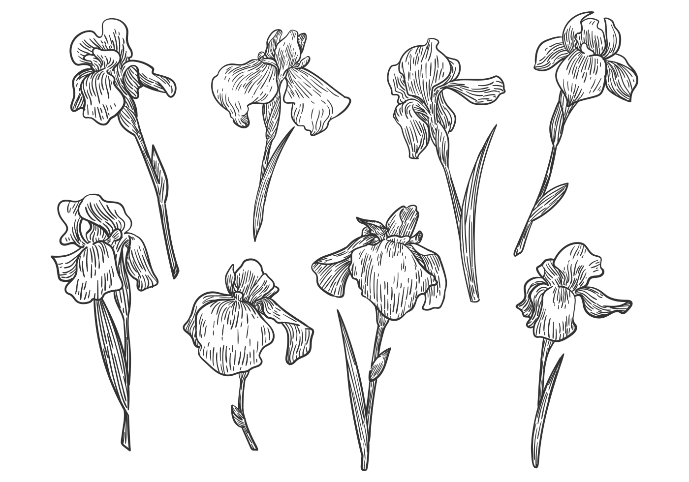 Free Hand Drawn Iris Flower Vectors Download Free Vectors Clipart Graphics Vector Art