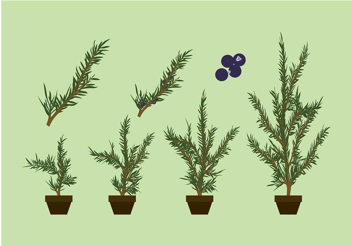 Juniper Pflanze Free Vector
