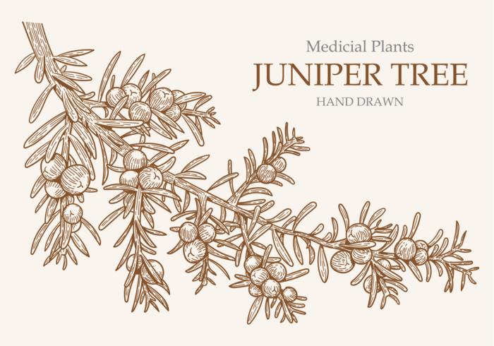 Fria händer som dras Juniper Tree vektorer