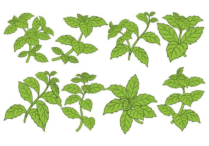 Stevia Leaf Vector Set