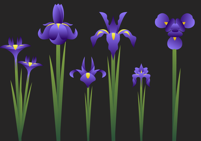 Beautiful Iris Flower Vector