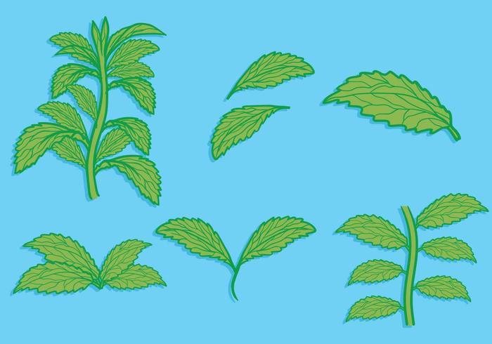 Hoja de Stevia dibujado a mano conjunto de ilustración