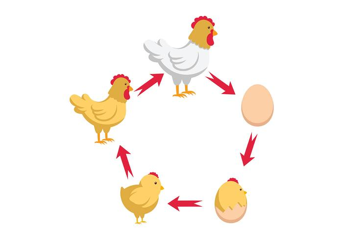 Chicken Life Cycle Vector