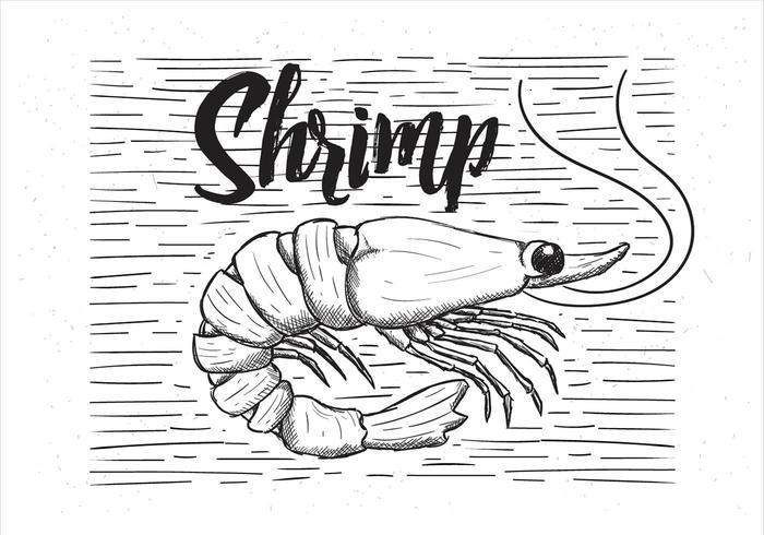 Mano libre del vector dibujada ilustración del camarón