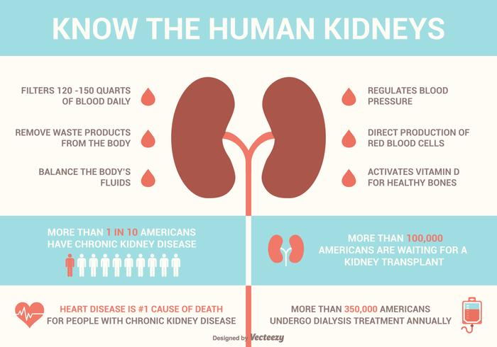 Kidneys Facts And Diseases Vector Infographics