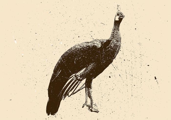 Peacock Lithograph Vector