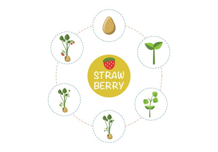 Strawberry Plant Growth Vector