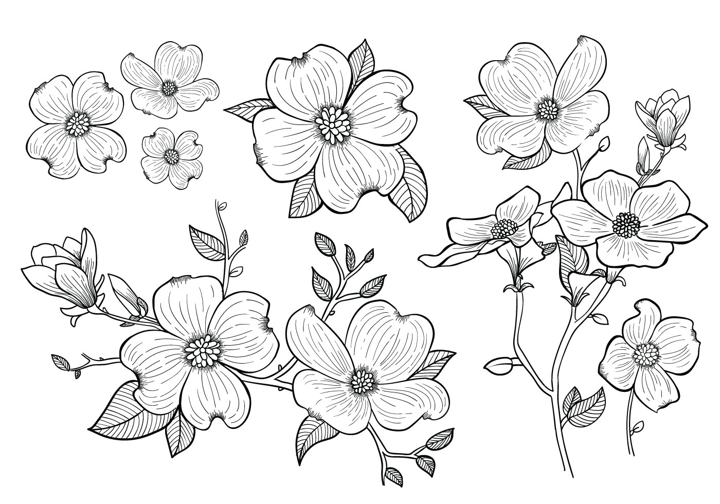 Dogwood Flower Line Drawing : Dogwood flower drawing flowers ideas for review