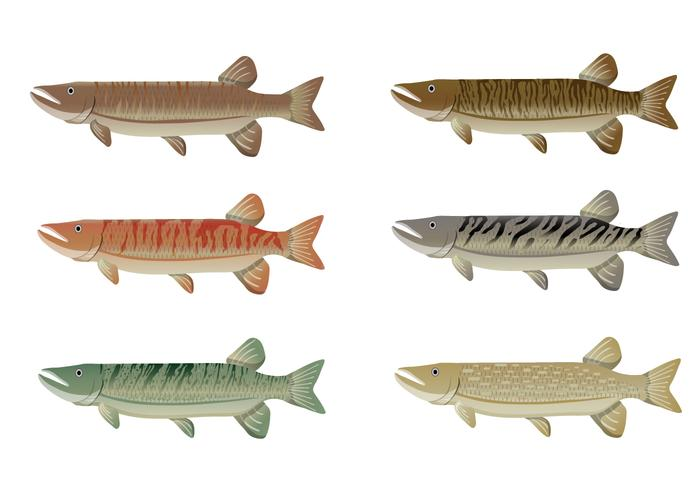 Set of Muskie Fish Vector