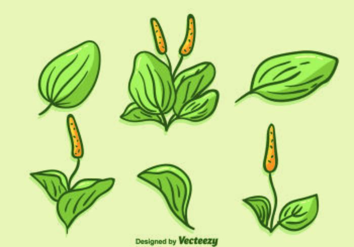 Vector de plantain desenhado à mão