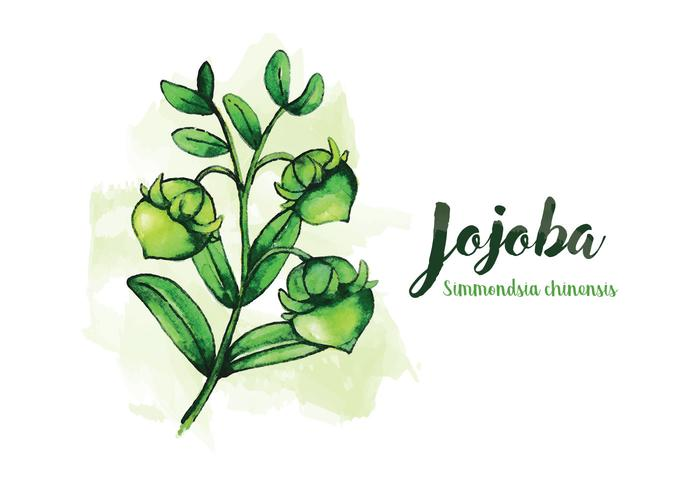 Jojoba akvarell illustration