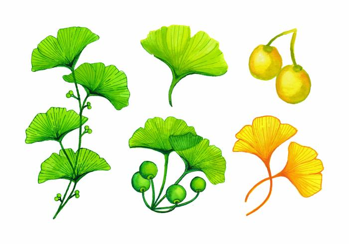 Watercolor Ginkgo Leaves