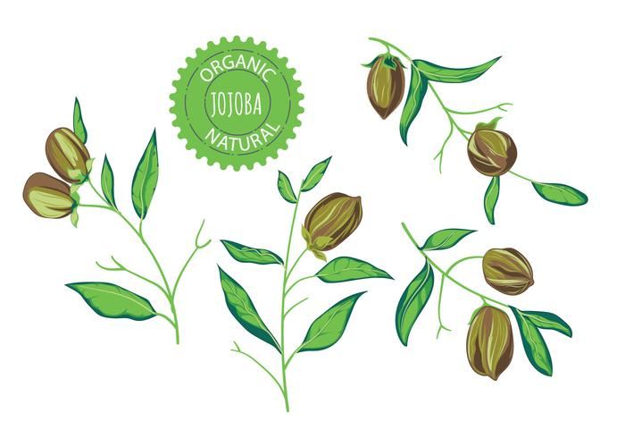 Jojoba Plant Vector Illustrations