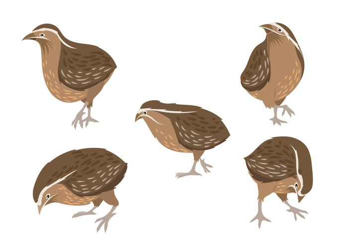 Set of Vector Graphic Illustrations of Quail