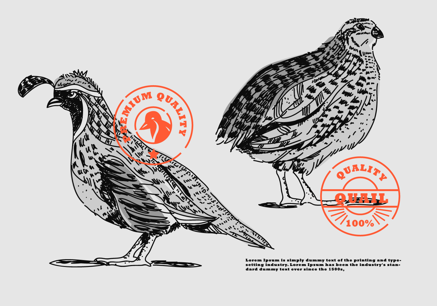 Line Drawing Quail : Quail hand drawn brand vector illustration download free