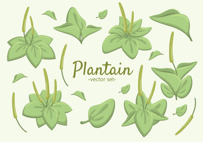 Great Plantain Herb Vectors