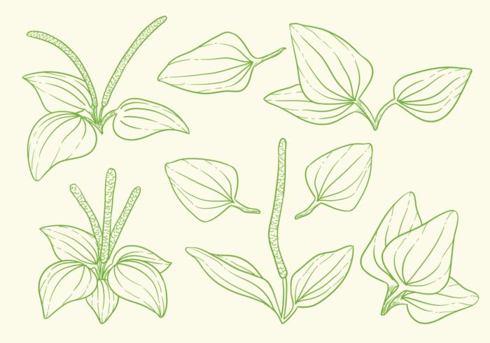 Great Plantain Herbs Vectors