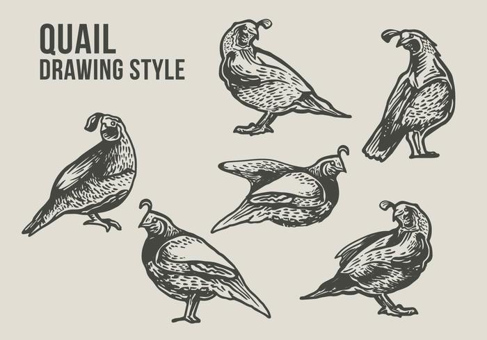 Wachtel Vogel Zeichnung Illustration