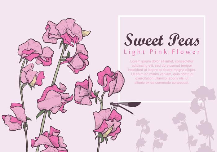 Flor rosada clara del guisante de olor