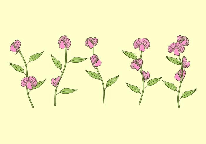 Sweet Pea Plant Free Vector