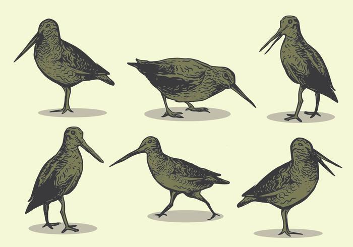 Snipe Bird Hand Drawing vector