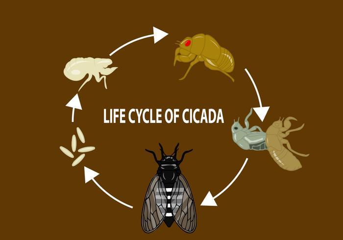Lebenszyklus der Zikade