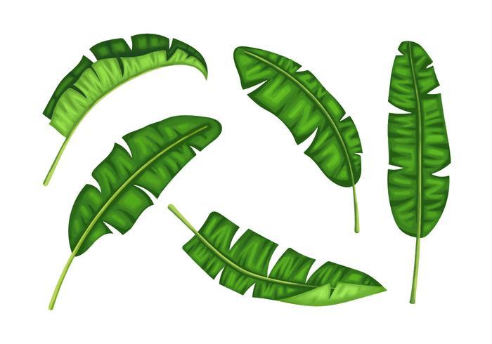 Banana Plantain Leaves Illustration Vector