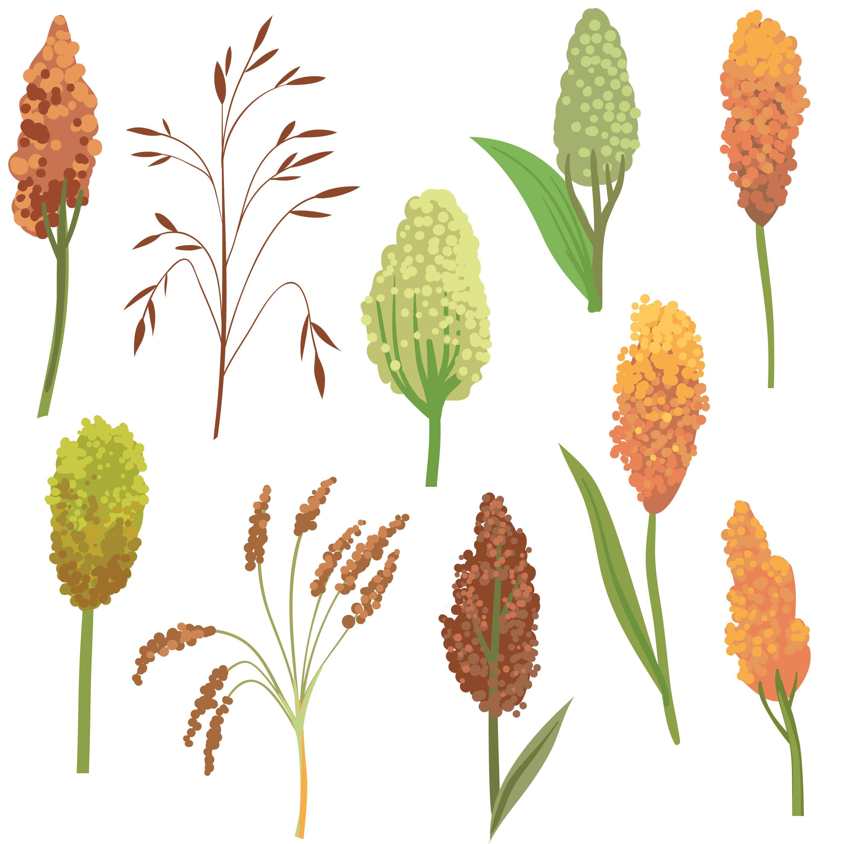 Sorghum plant clipart