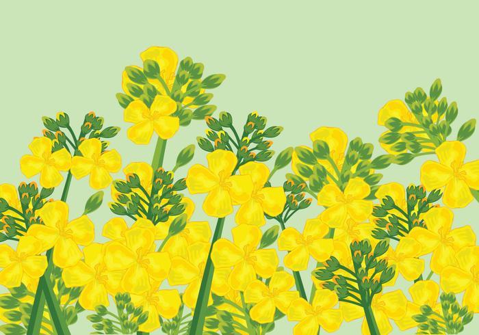 Vector de flores de canola