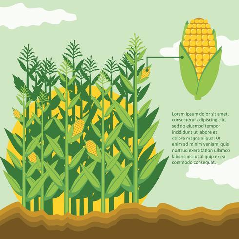 Tiges de maïs dans le champ de maïs