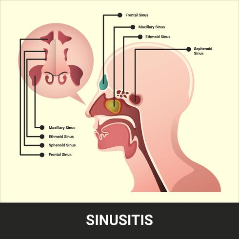 Sinus Vector Illustration With Detailed Information