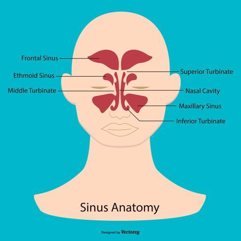 Sinus Anatomy Illustration - Download Free Vector Art, Stock ...