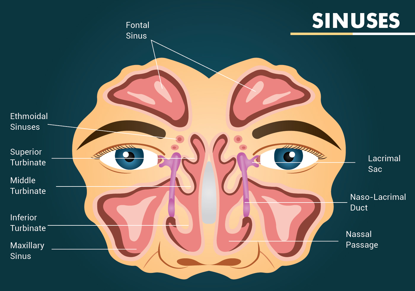 sinuses vector design download free vector art stock