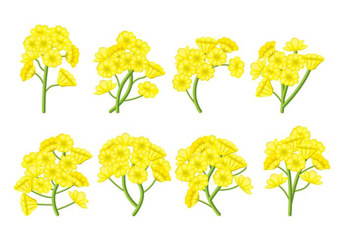 Canola bloem Vector Set
