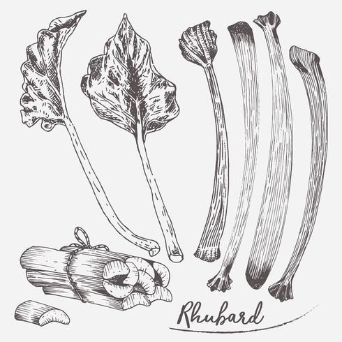Rhabarber-Set-Illustrations-Vektor