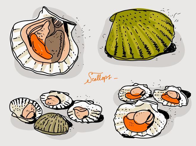 Fresh Scallops Hand Drawn Vector Illustration