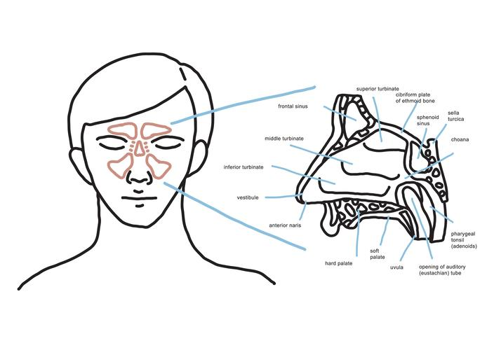 Nasal Anatomy - Download Free Vector Art, Stock Graphics & Images
