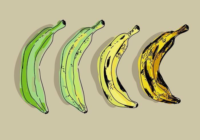 Plantain Color Transformation dessinés à la main Vector Illustration