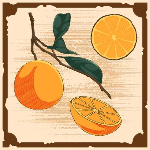 Vectores únicos Vintage Citrus Illustrations